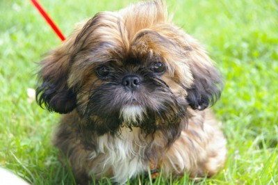 Is My Shih Tzu Pregnant?