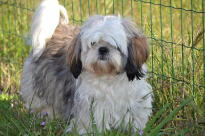 Shih Tzu - Housetraining Process For Your New Shih Tzu Puppy