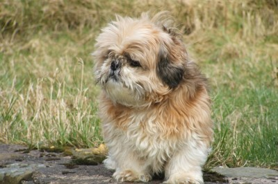 Learning to Recognize Aggressive Behaviors in Your Shih Tzu