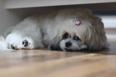 Tips On Housetraining Your New Shih Tzu Puppy