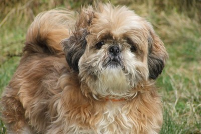Shih Tzu - Behavior Modification