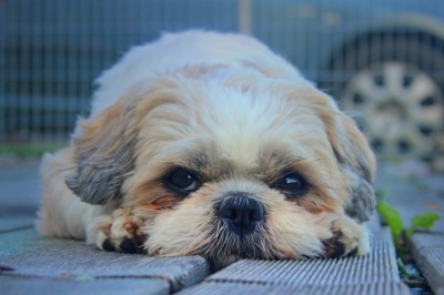 Shih Tzu - Housetraining Your Shih Tzu The Right Way