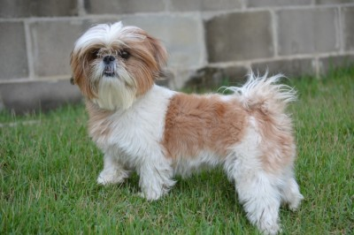 Shih Tzu - Tips On Eliminating Bad Habits