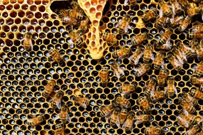 Learn About The Reproduction For Honey Bees