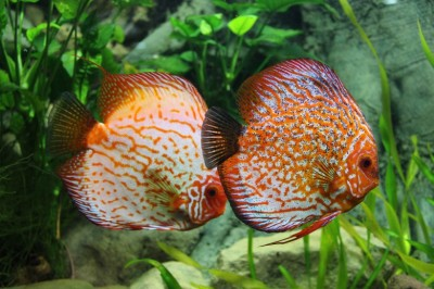 How to get a Breeding Pair of Discus fish