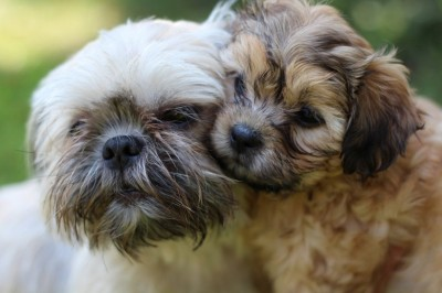 Shih Tzu - New Puppies And Older Dogs