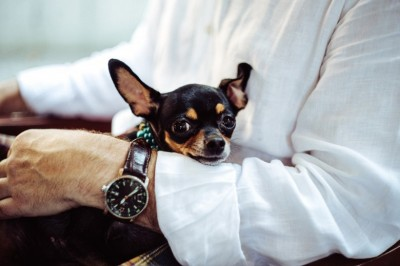 Good Things To Know About Chihuahua Dogs